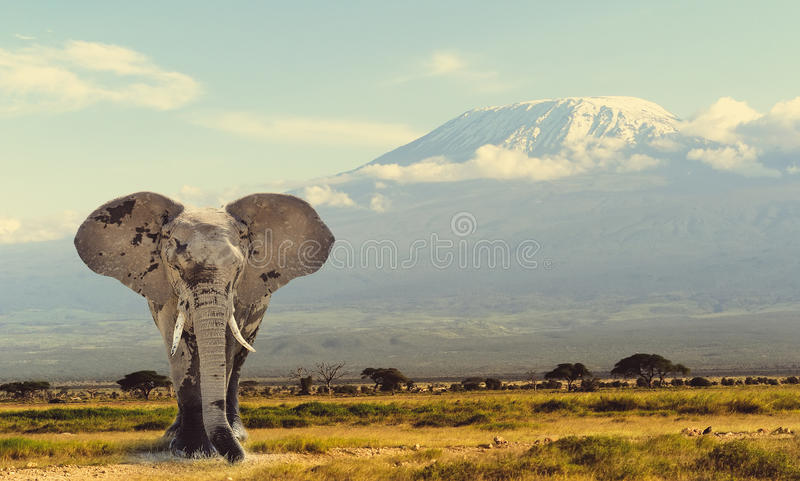Elephant. On Kilimanjaro mountain background. National Park of Kenya, Africa royalty free stock photography