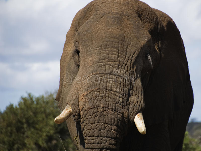 An elephant in the Kruger National Park. A solitary elephant in the Kruger National Park stock photo