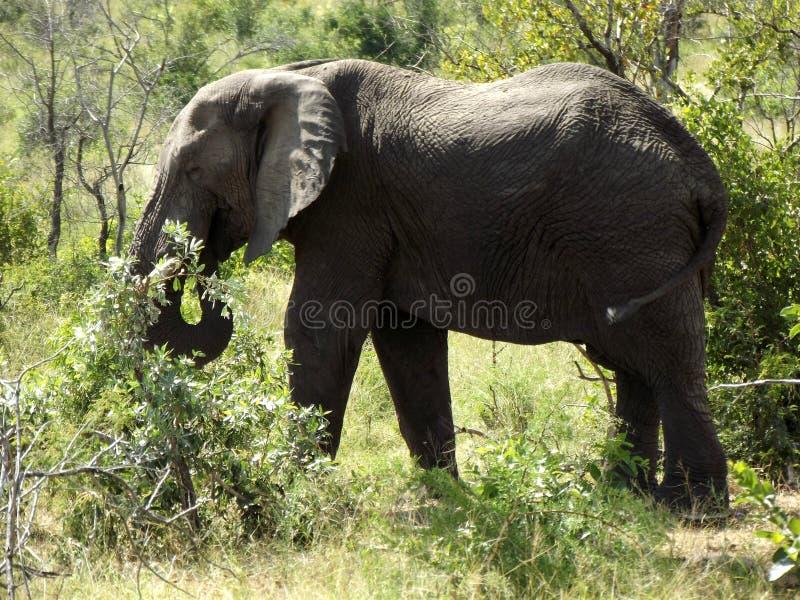 Elephant at Kruger National Park. South Africa. Olifant in Krugerpark Zuid-Afrika stock image