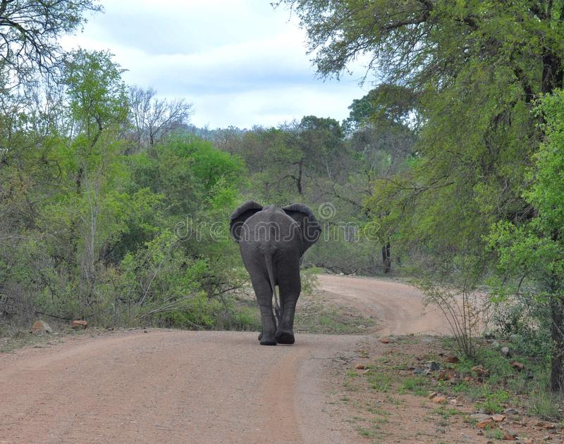 Download Elephant stock photo. Image of shows, goes, kruger, tail - 88359512
