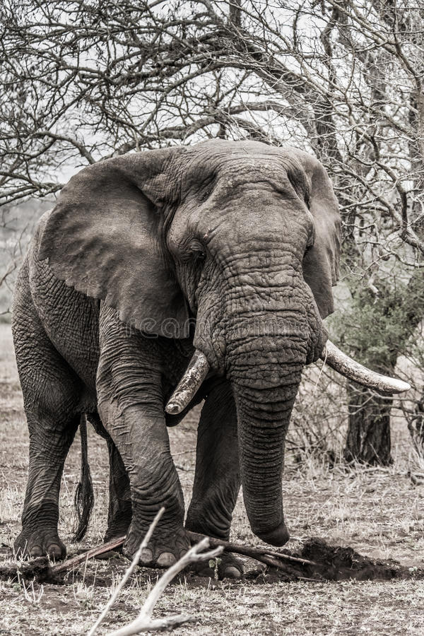 Elephant in krugerpark. Elephant tries to dig out a root in kruger national park royalty free stock images