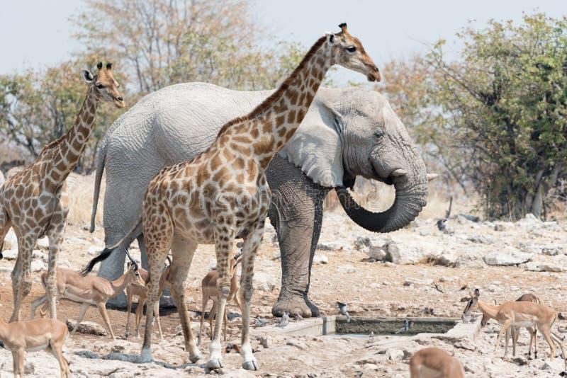 Animals of Etosha. Elephant, kudu, giraffe, and springbok gather at a water hole in Etosha National Park, Namibia royalty free stock image