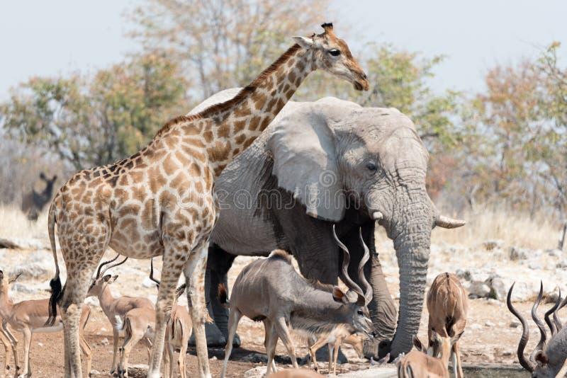 Animals of Etosha. Elephant, kudu, giraffe, and springbok gather at a water hole in Etosha National Park, Namibia stock image
