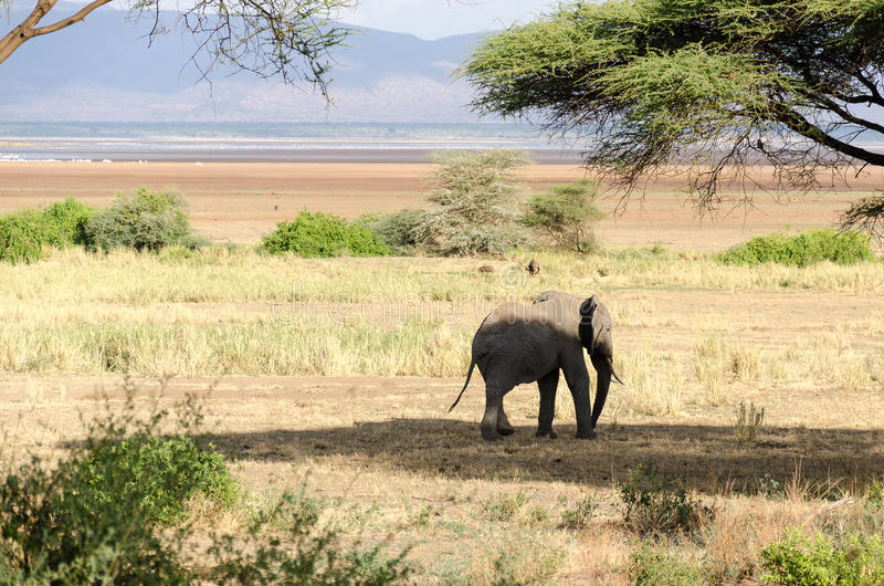 Elephant, Lake Manyara National Park. An elephant in Lake Manyara National Park, Tanzania royalty free stock photos