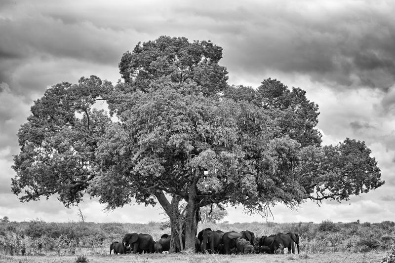 Elephant Landscape. Herd of Elephant resting in the shade of a Tree, Kruger National Park, South Africa royalty free stock photography