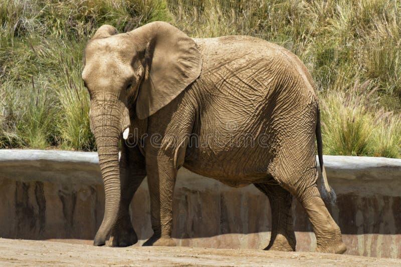 Elephant. Large elephant at the San Diego Zoos Wildlife Safari Park stock photography