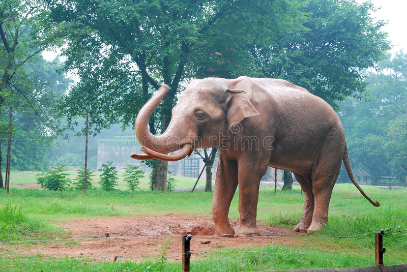 Download Elephant on the lawn stock image. Image of background - 27468821