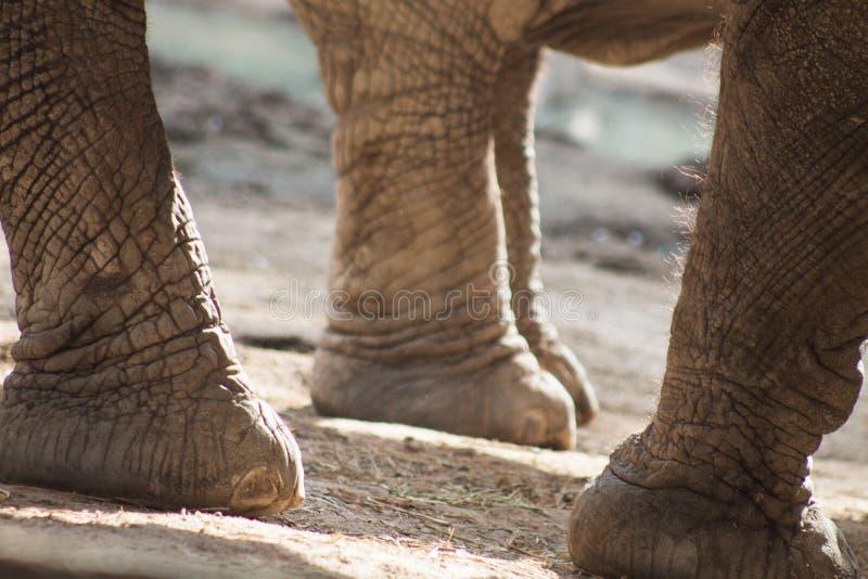 Elephant legs royalty free stock photo