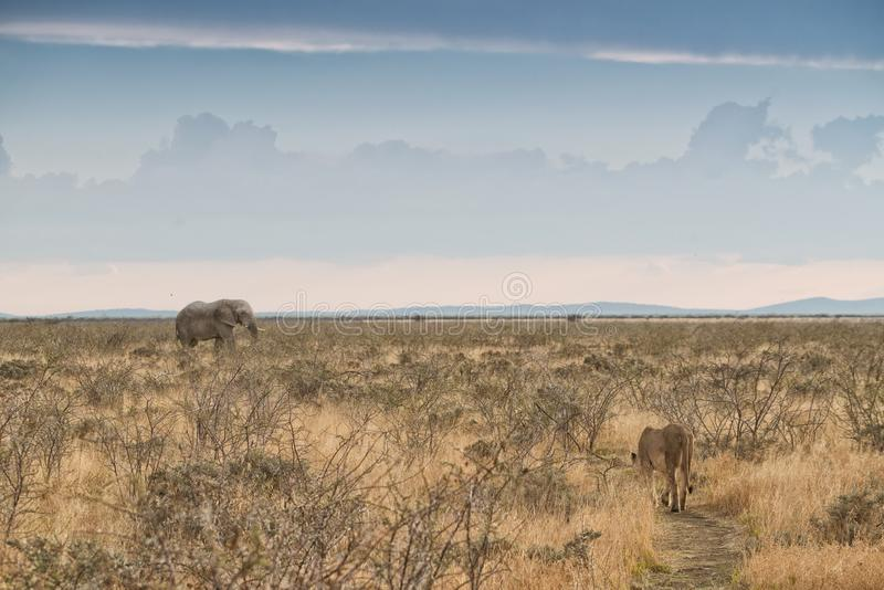 Elephant and lioness with converging paths. Namibia. Africa. Africa royalty free stock photo