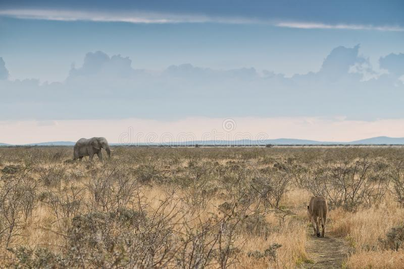 Elephant and lioness with converging paths. Namibia. Africa. Africa royalty free stock images
