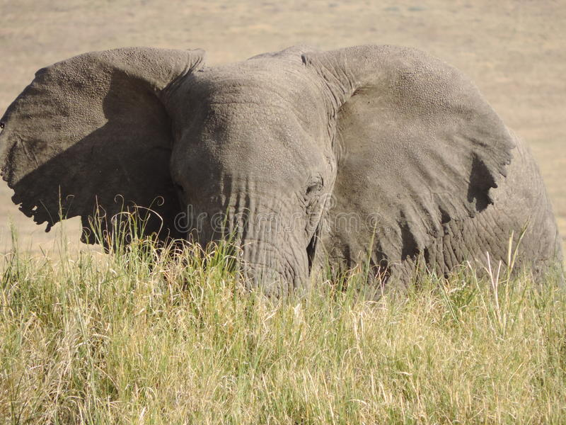 Elephant in Long Grass royalty free stock photo