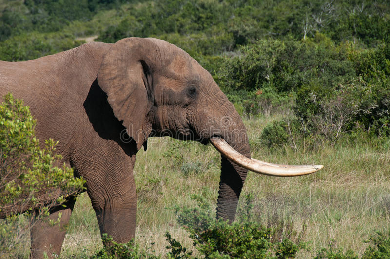 Download Elephant with long tusks stock image. Image of southern - 41939549