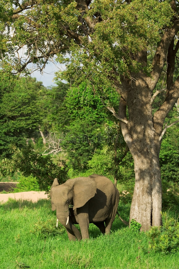 Download Elephant Looking For Shade Royalty Free Stock Photography - Image: 2318427