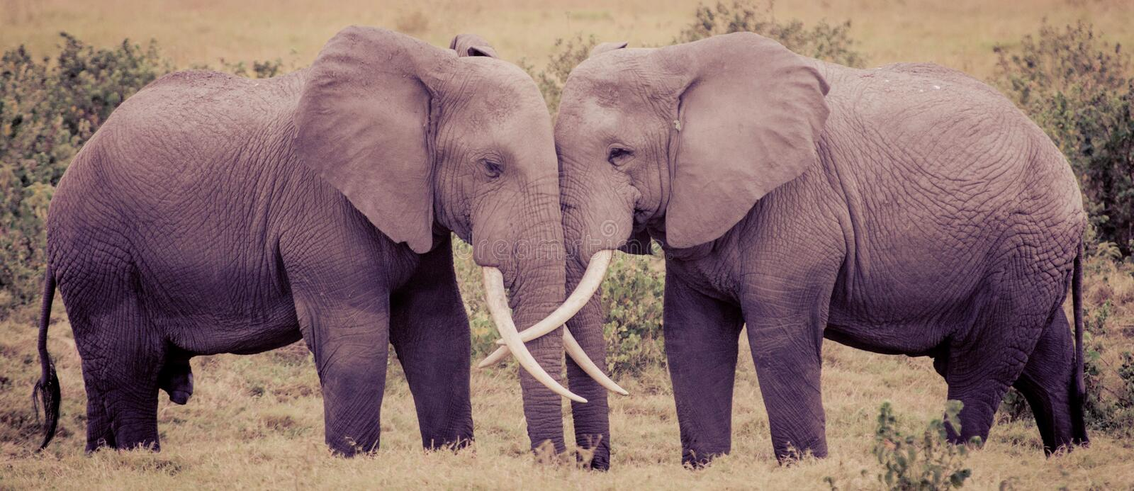 Elephant Love stock photo. Image of antique, amboseli ... - photo#36