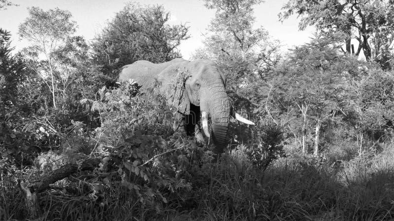 Elephant Makutsi stock photo