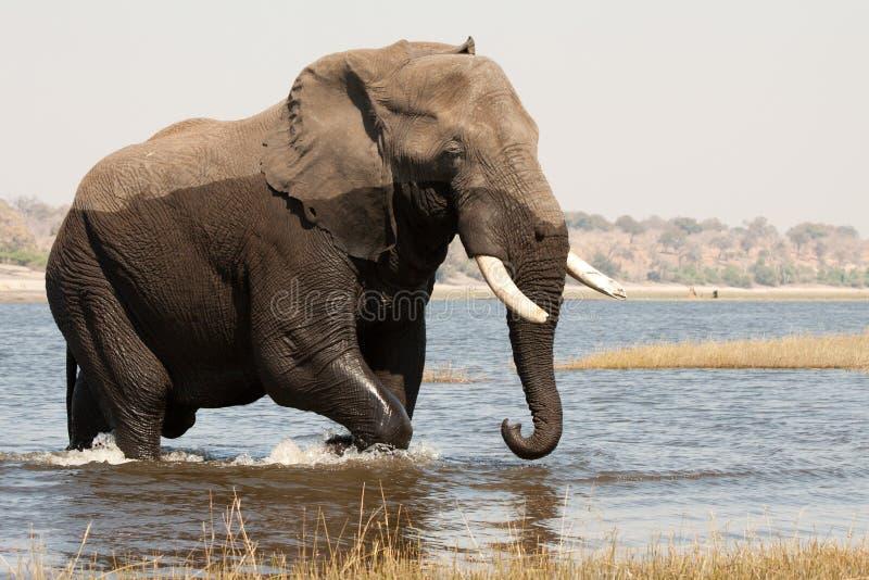elephant male crossing chobe river royalty free stock photos