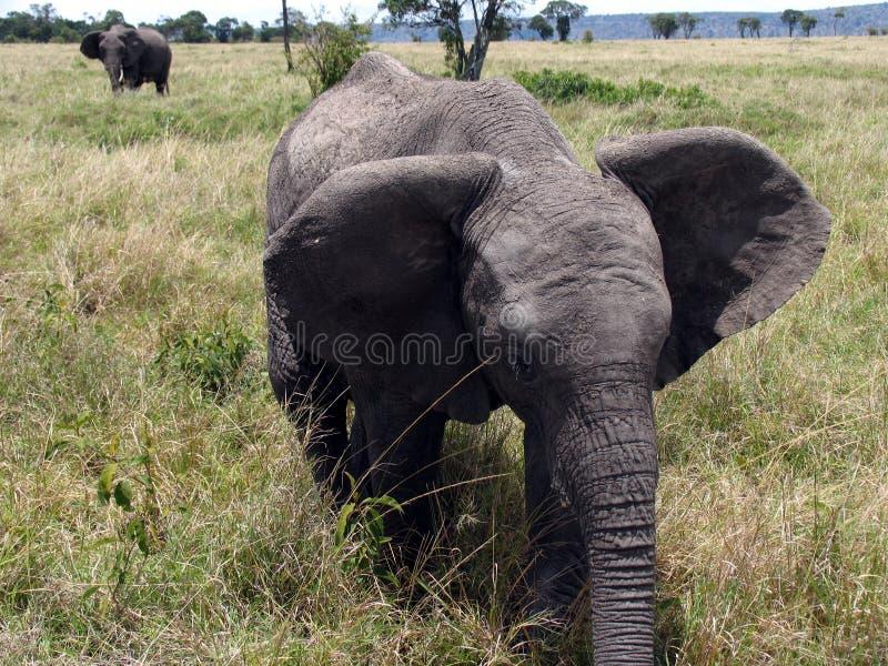 Elephant in the Masai Mara stock photo