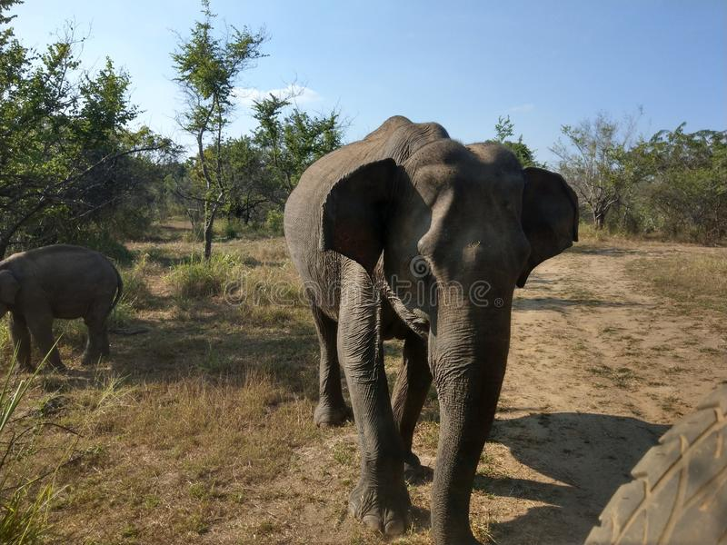 Elephant in Minneryia national park stock images