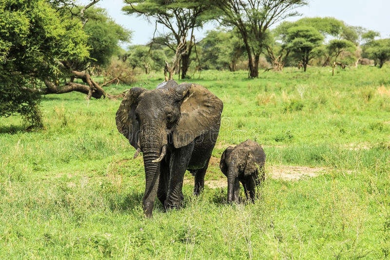 Mother and baby elephant stock images