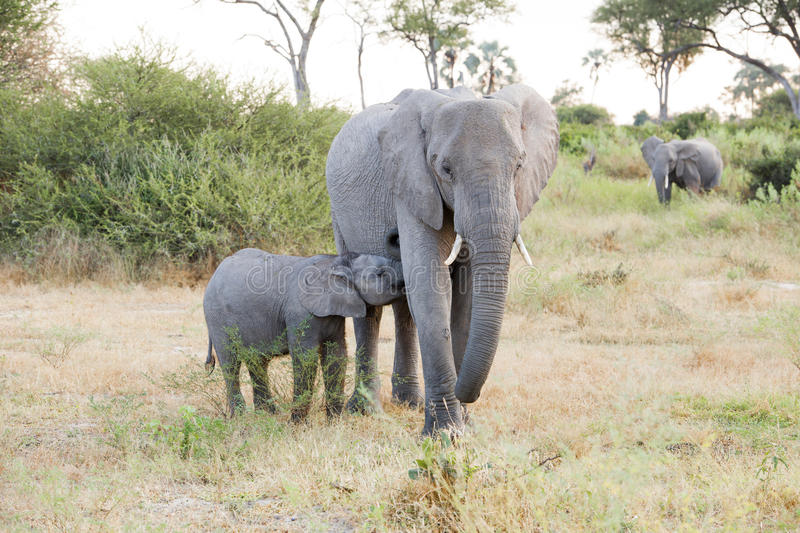Elephant mother with suckling calf, cute elephant baby drinking, Botswana, Africa royalty free stock photos