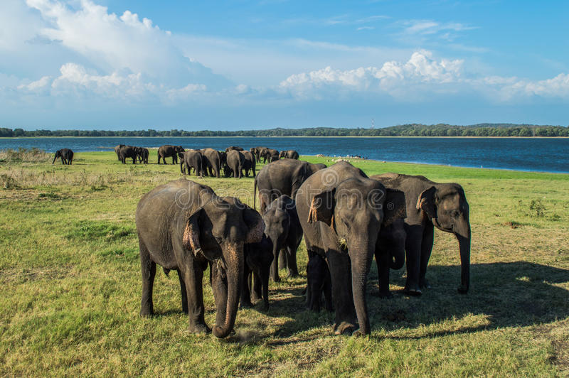 Elephant Mothers Protecting Their Babies at the Waterhole of Minneriya National Park in Sri Lanka stock images