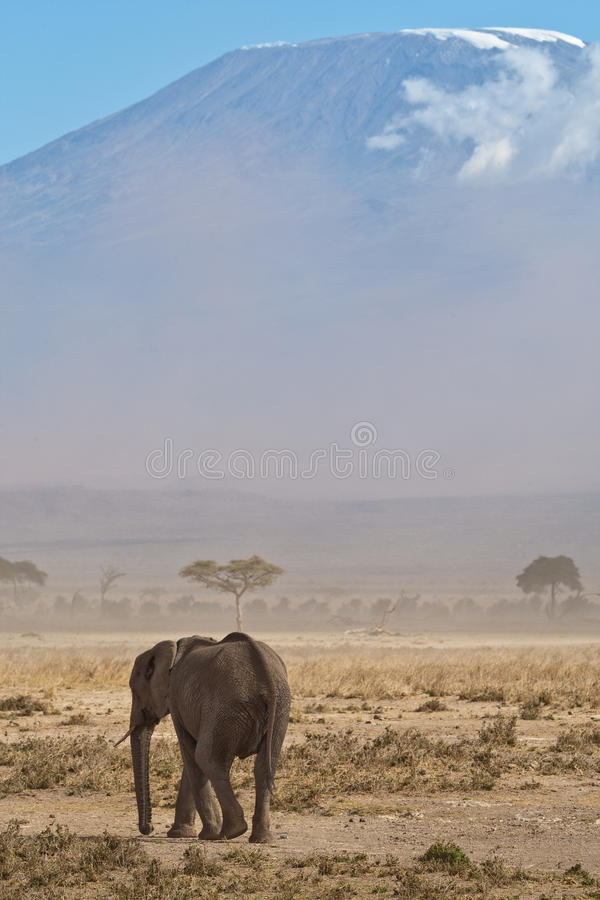 Elephant and mount Kilimanjaro. Elephant in front of mount kilimanjaro with a lot of dust in the air stock photos