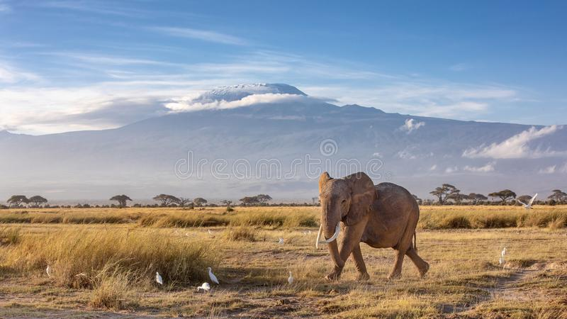 Elephant and Mount Kilimanjaro. African elephant walking in the grassland at the foot of Mount Kilimanjaro, Kenya stock photography