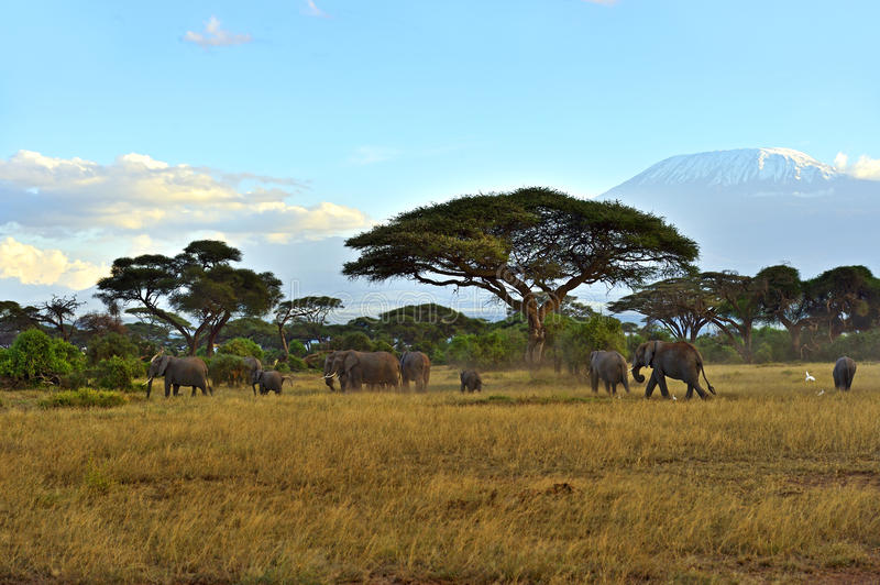 Elephant. With Mount Kilimanjaro in the background royalty free stock photos