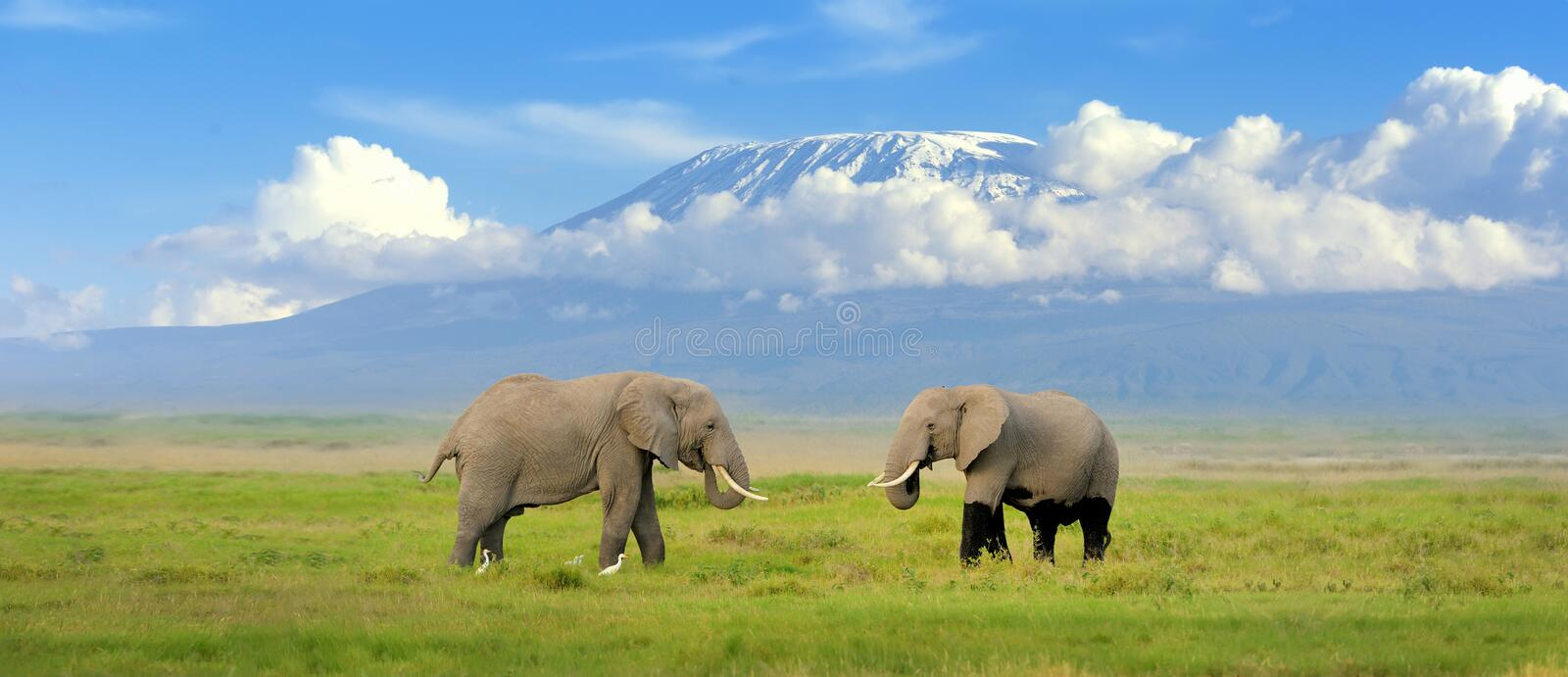 Elephant. With Mount Kilimanjaro in the background stock images