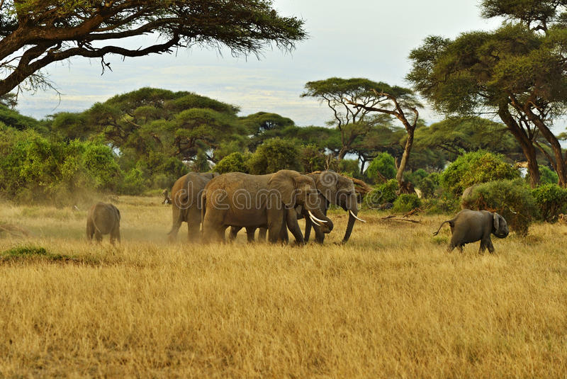 Elephant. With Mount Kilimanjaro in the background stock photo
