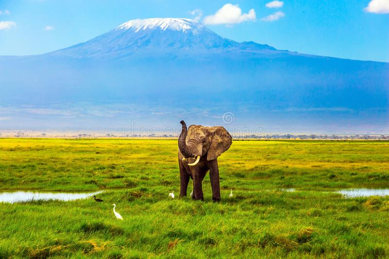 Elephant at Mount Kilimanjaro. Safari - tour to the famous Amboseli Reserve, Kenya. Wild animal in natural habitat. African elephant at Mount Kilimanjaro. The stock image