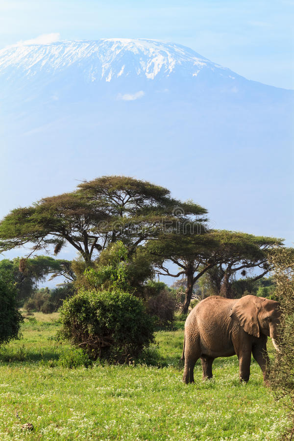 Elephant and mountain Kilimanjaro, Kenya. Africa. Elephant and mountain Kilimanjaro, Kenya. Eastest Africa royalty free stock photography