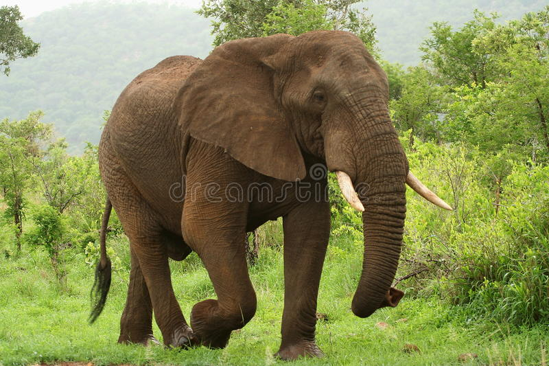 Elephant on the move. An adult male elephant walking royalty free stock images