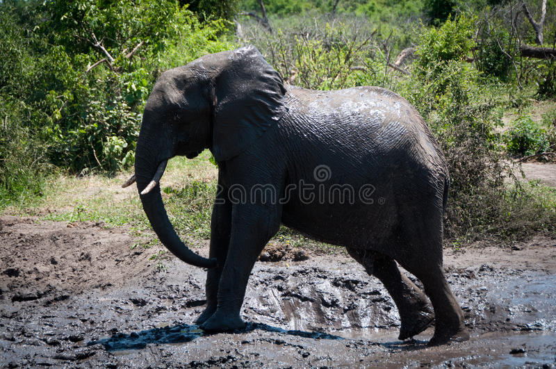 Elephant in Mud royalty free stock photography