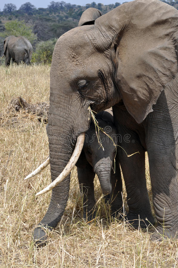 Download Elephant Mum Protecting Her Baby Stock Image - Image: 20173651