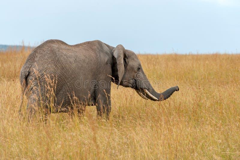 Elephant in National park of Kenya. Africa stock photo