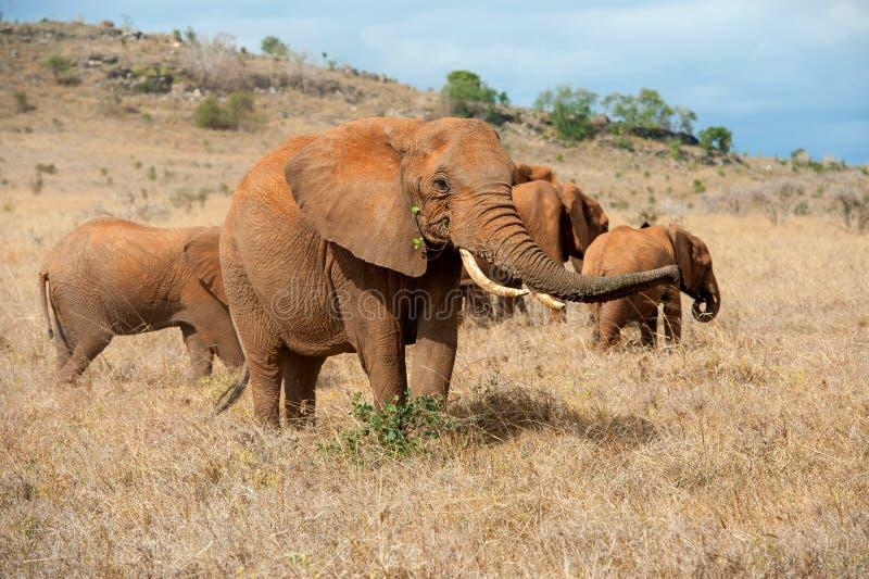 Elephant in National park of Kenya. Africa stock photos