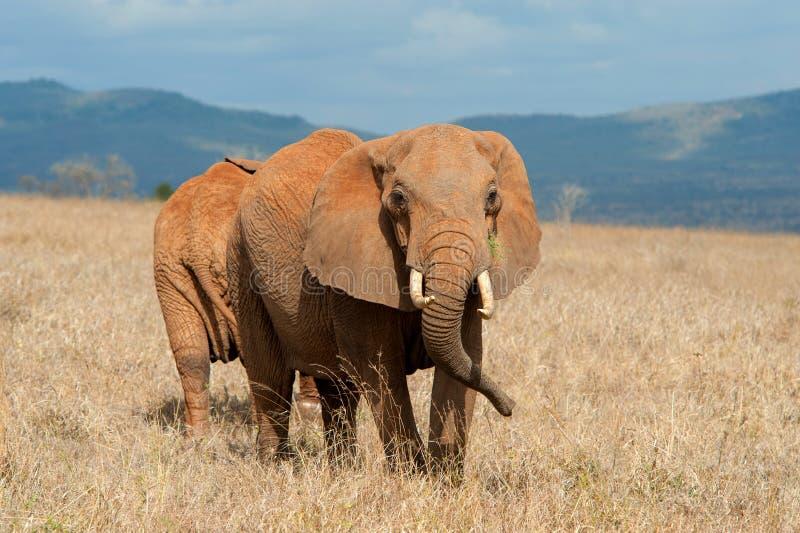 Elephant in National park of Kenya. Africa stock image