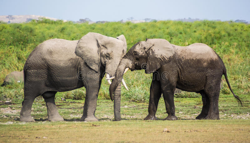 Elephant in National Park Kenya royalty free stock photography