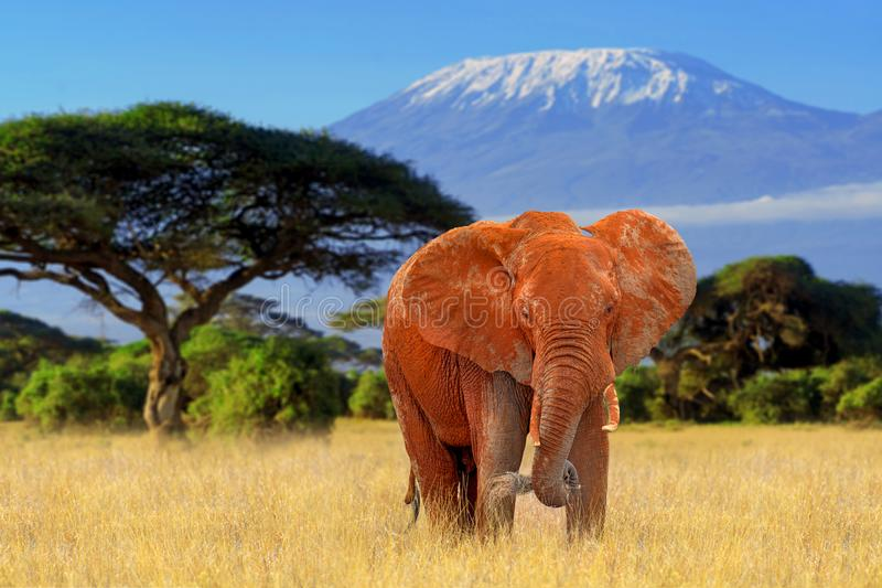 Elephant in National park of Kenya. Elephant on Kilimanjaro mount background in National park of Kenya, Africa royalty free stock photography