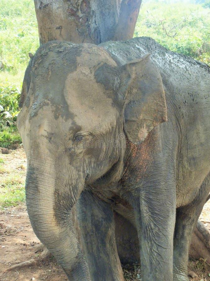 Elephant in natural surrounding in Sri Lanka. Happy Elephant in natural surrounding in Sri Lanka near Pinnawella stock images