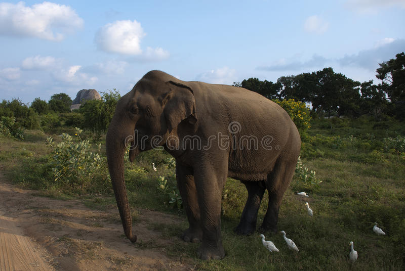 Elephant in Nature royalty free stock photography