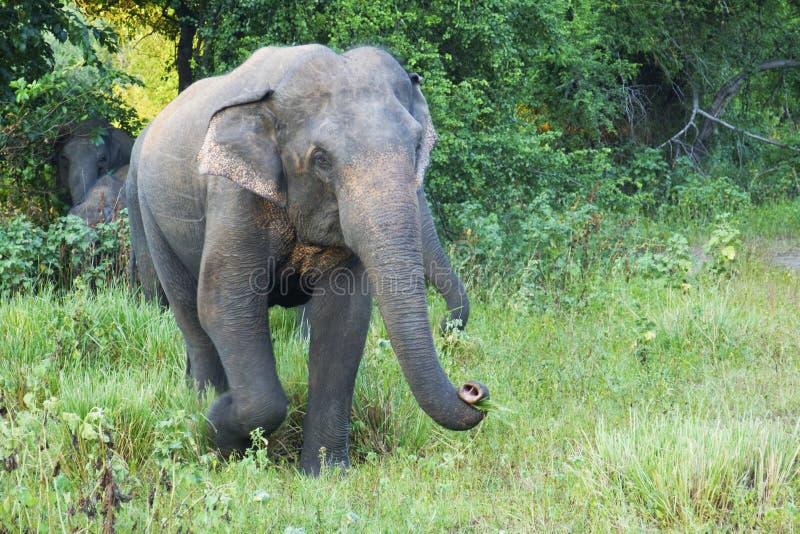 Elephant in a nature reserve. Elephant at Minneriya National Park, Sri Lanka royalty free stock photo