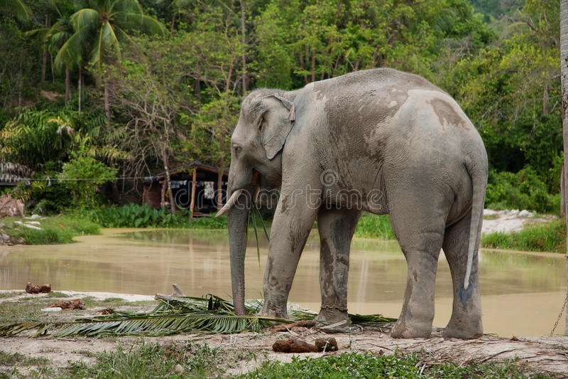 Elephant near lake stock image