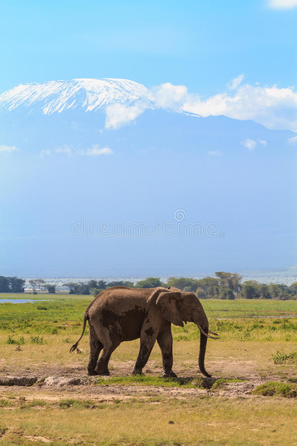 Elephant near Mount Kilimanjaro. Snow in Africa. Amboseli, Kenya. Africa stock photography