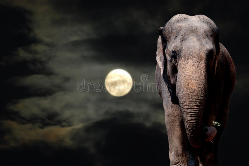 Elephant in Night stock images