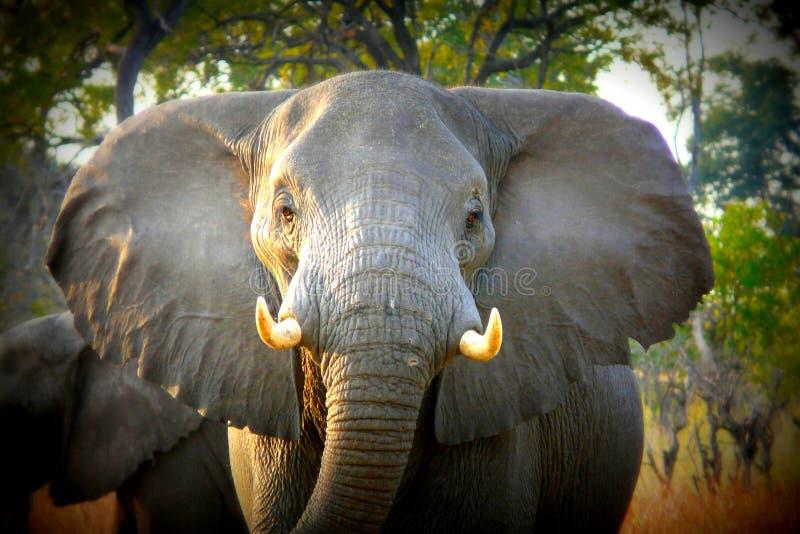 African elephant walks through the grass in Pom-Pom island private game reserve in Okavango delta, Botswana, Africa stock photos