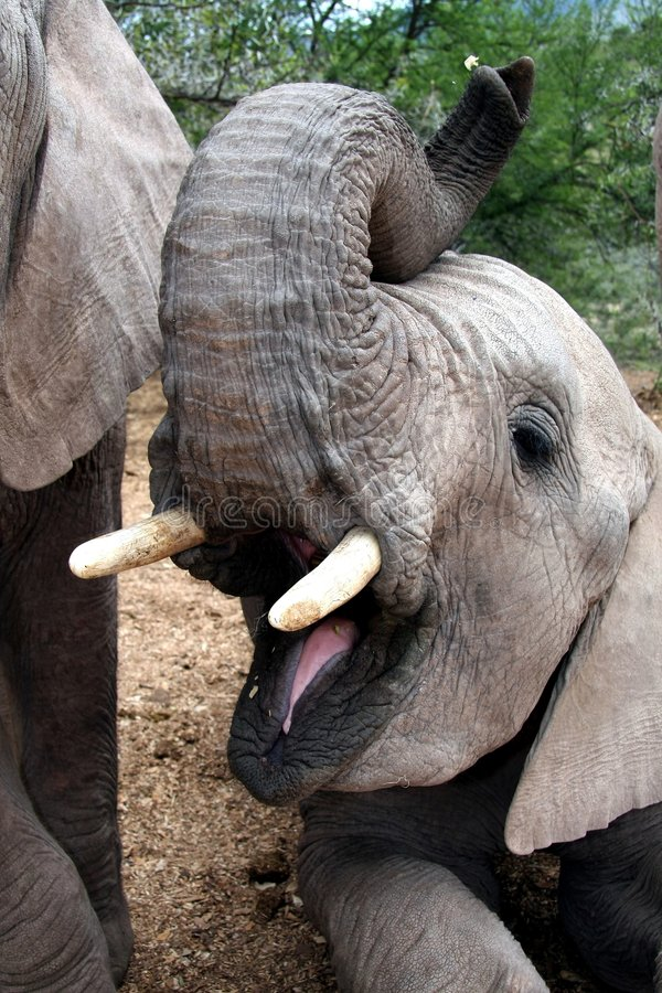 Elephant With Open Mouth Royalty Free Stock Photo