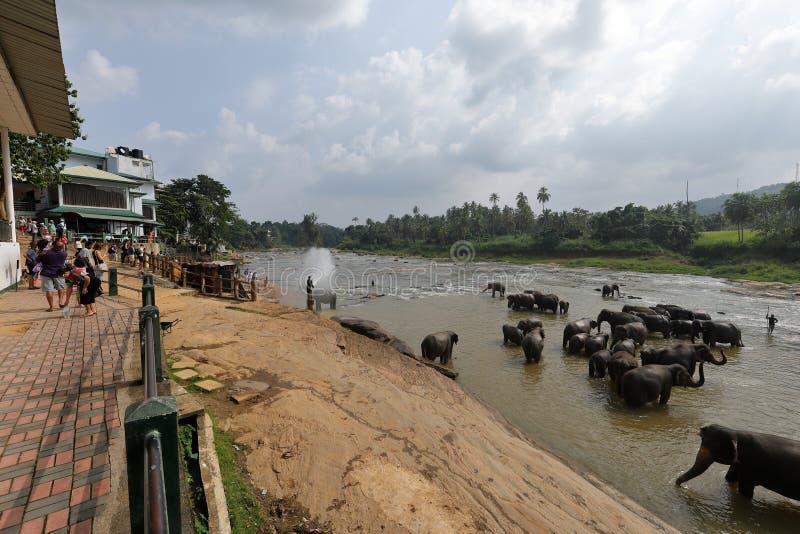 Elephant orphanage of Pinnawala in Sri Lanka royalty free stock photography