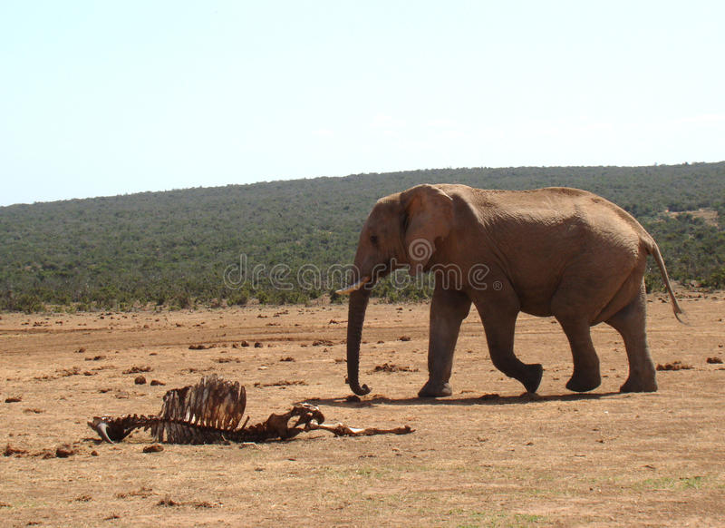 Download Elephant Passing By A Carcass Stock Photo - Image: 12815502